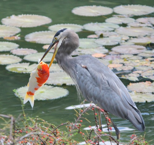 Rascally heron and koi (1)
