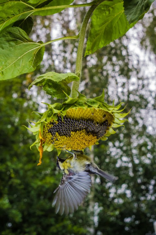 canstockphoto10672083 (2) sunflower bird