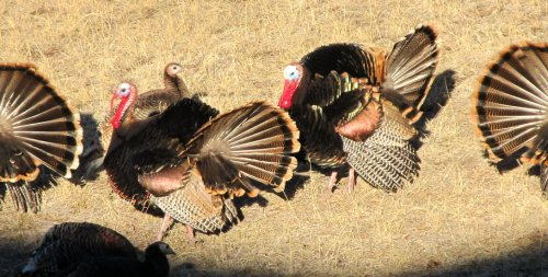 """Yes, we have wild turkeys on and around the ranch out here in Peyton!   Tom"""
