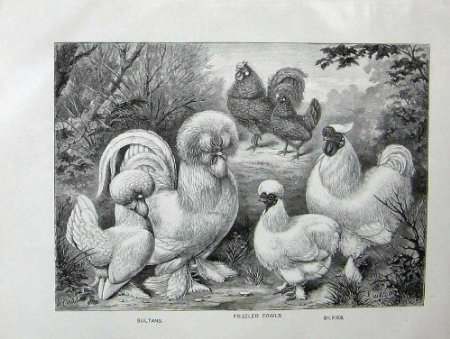 Frizzled Fowls, Silkies, Sultans from Wright's Book of Poultry 1902