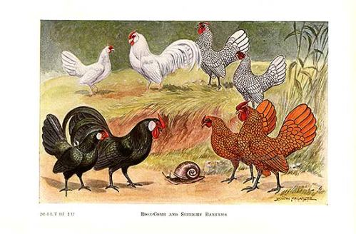 Rose-comb and Sebright Bantams from Poultry by Edwin Megargee