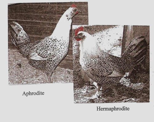 "These are not the best photographs but they are untouched and they are  of Aphrodite. The first one shows her undergoing her yearly molt, and the second is of the very-changed ""hen"" several years later. Photocopied from Greenwoman Zine, Issue #1."