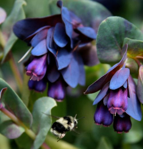 Blue Shrimp Plant - picture is from eBay where seeds are for sale.