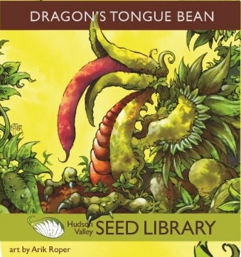 Dragon Tongue Beans from the Hudson Valley Seed Library