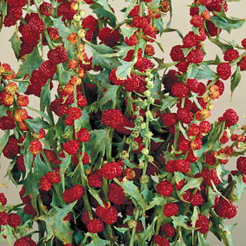 strawberry spinach plant park seed