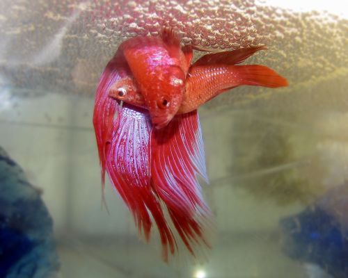 Betta splendens, spawning. From Wikimedia Commons.