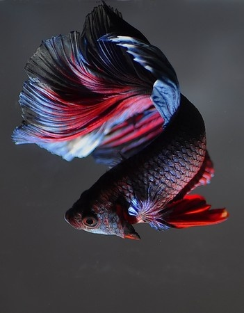 Betta splendens, image from 123RF