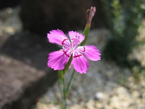 Dianthus microlepis by KENPEI, via Wikimedia Commons
