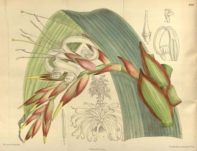 Tillandsia regina, Curtis's Botanical Magazine, London., vol. 141, 1915, via Wikimedia Commons