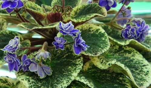 """African violet (Saintpaulia),"" by mk2010, via Wikimedia Commons."