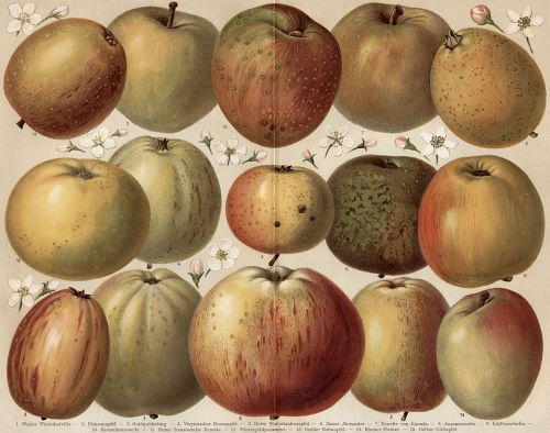 Apples_Apfelsorten_Diel-Lucas Image from the 6th edition of Meyers großem Konversationslexikon (1885–90), via Wikimedia Commons.
