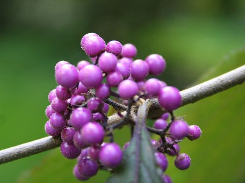 allicarpa_bodinieri_'Profusion'_By Jean-Pol GRANDMONTcreativecommons.org, via Wikime