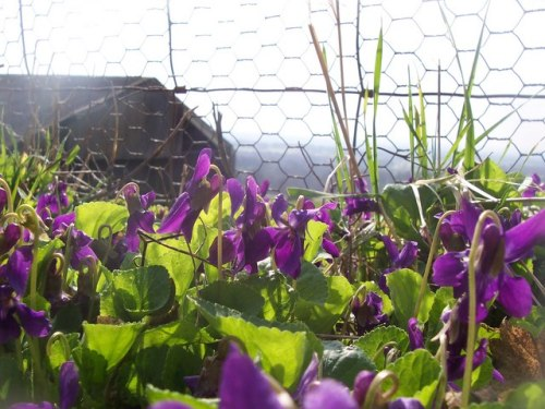 Wild_Violets_-_geograph.org.uk_-_1207030 (2)