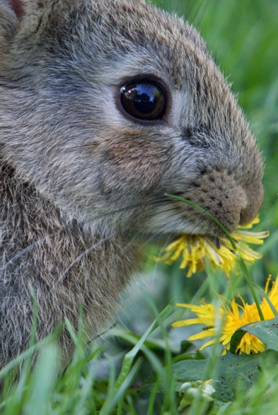 Oryctolagus_cuniculus_eating_dandelions (2) flipped