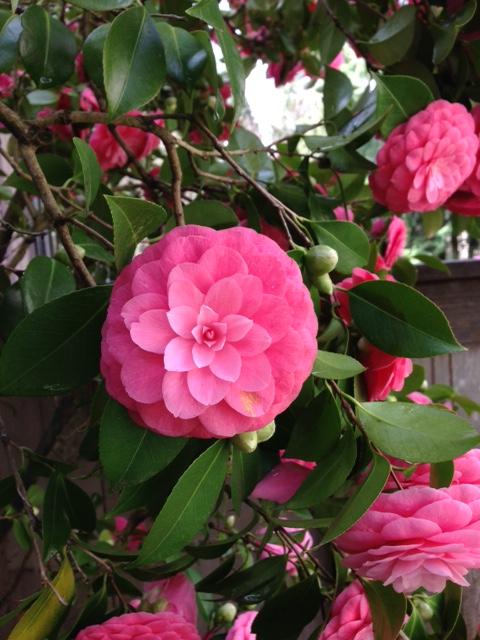 Knoll_camellia