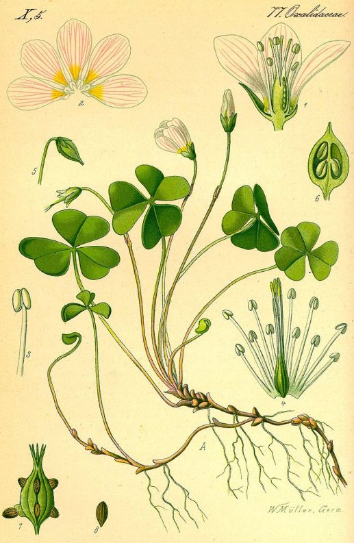 800px-Oxalis_acetosella_1885_crop