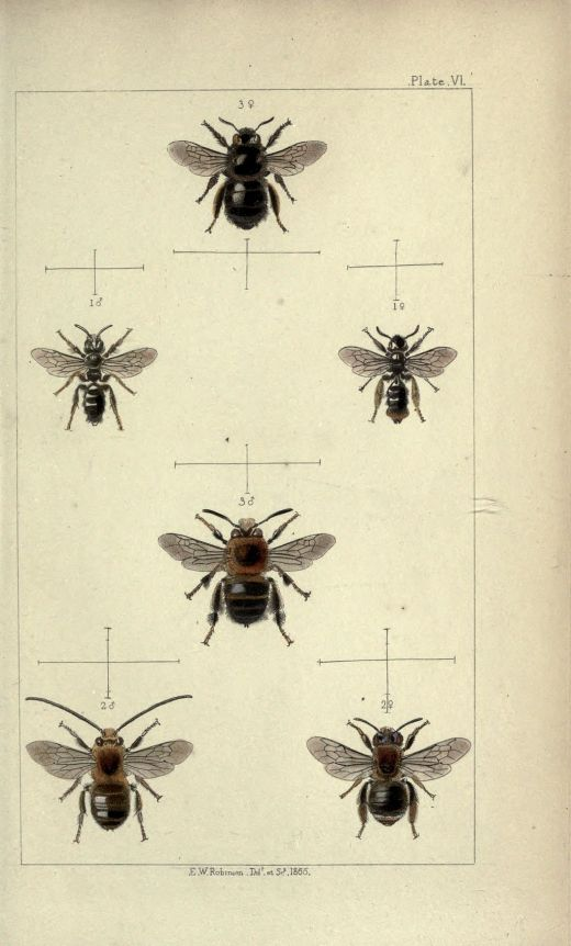 British_bees-_an_introduction_to_the_study_of_the_natural_history_and_economy_of_the_bees_indigenous_to_the_British_Isles_BHL19072798 (2)