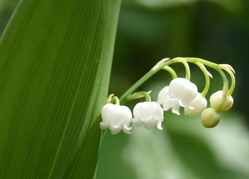 Convallaria_majalis_By_FoeNyx_via Wikimedia Commons