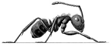 446 (3) Single Ant b&w