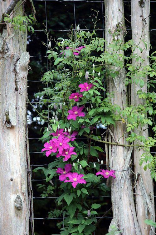 Border_clematis_trellis_Clavering_Essex_England (2)