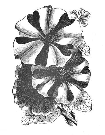 Petunia 001 (2)