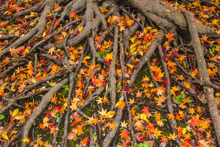 36866251 - yellow and red color leaves fallen on ground in autumn