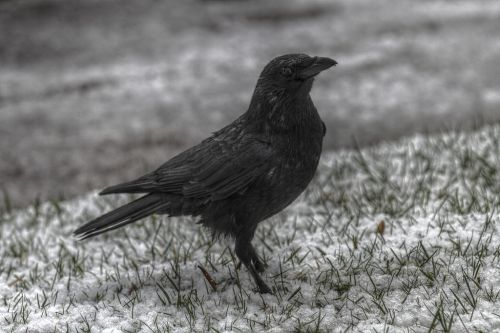 Annecy_-_Carrion_crow_under_snow_PierreSelim