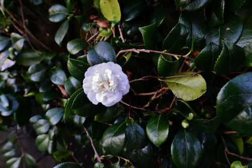HEVER_CASTLE_AND_GARDENS_A_white_Camellia (2)