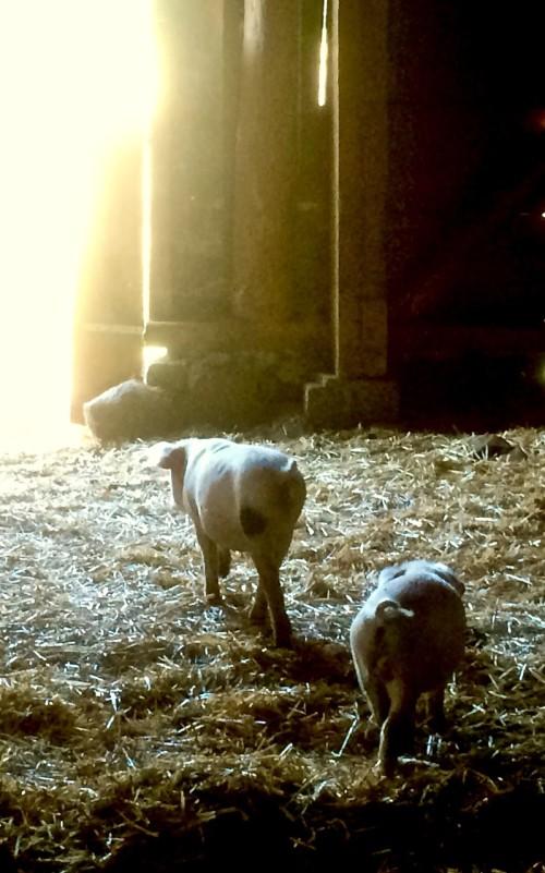 Broadfork-farm-piggies-darrell-salk