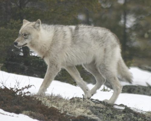 Quebec_wild_wolf_WC