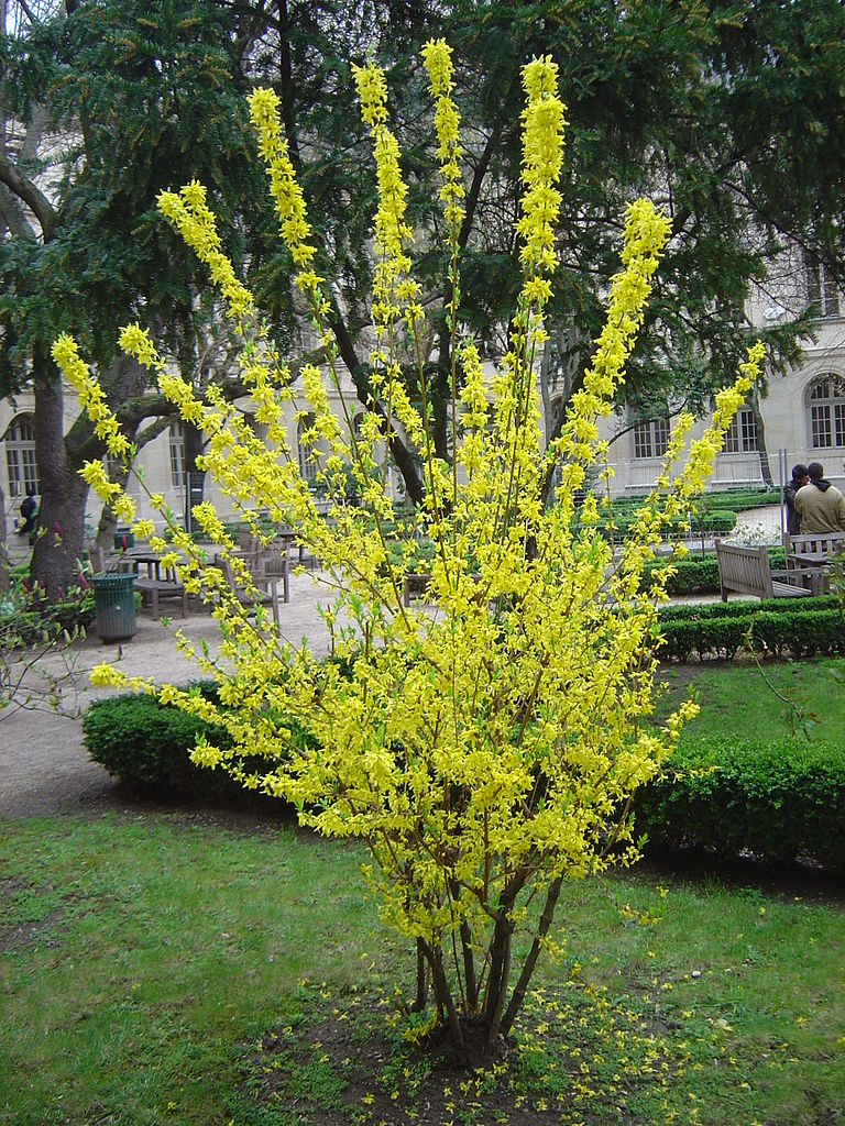 A Forsythia inside the courtyard of ENS Ulm Copyright (c) 2005 David Monniaux WC