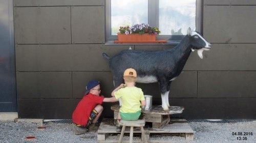 Milking_an_artificial_goat_at_Grubighütte_(31816547712)_WC