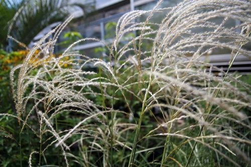 Miscanthus_sinensis_Graziella_Photo by David J. Stang. First published at ZipcodeZoo.com., WC